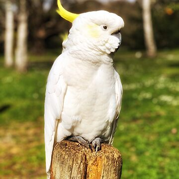 Cockatoo  by CassieGannon