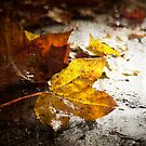 Yellow leaves by Olav Lunde