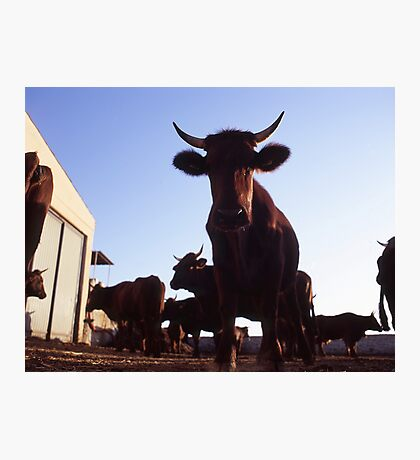 Silly Cow Photographic Print