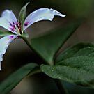 Painted Trillium by T.J. Martin