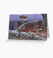 Bramblings in the snow Greeting Card