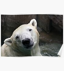 Polar bear in captivity... Poster