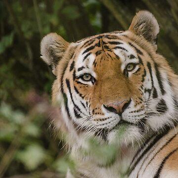 Tiger portrait by photosbygemmad