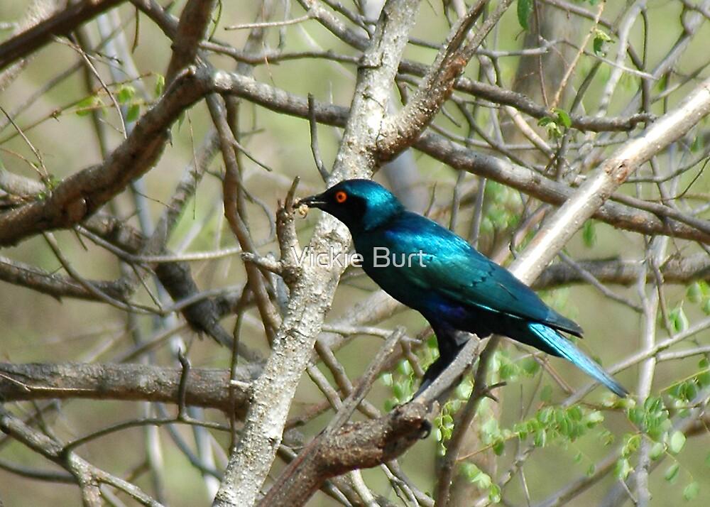 Glossy Starling  by Vickie Burt