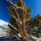 Bristle Cone Pine from the Windblown Side by photosbyflood