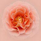 Apricot Ruffle V2 by Judi FitzPatrick