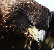 Sea eagle portrait by Alan Mattison
