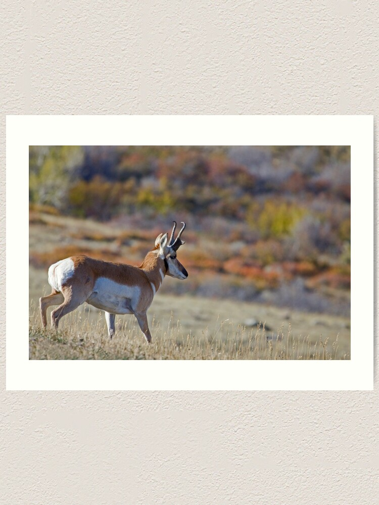 Alternate view of Pronghorn, Tapestry of Fall Color Art Print