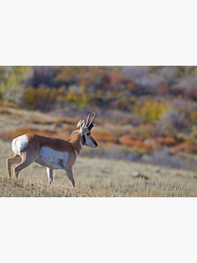 Pronghorn, Tapestry of Fall Color by annruttle