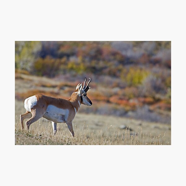 Pronghorn, Tapestry of Fall Color Photographic Print