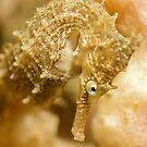 Seahorse Portrait by Rick Grundy