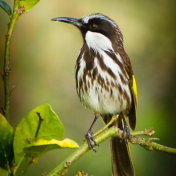 White Cheeked Honeyeater by AmyesPhotograph