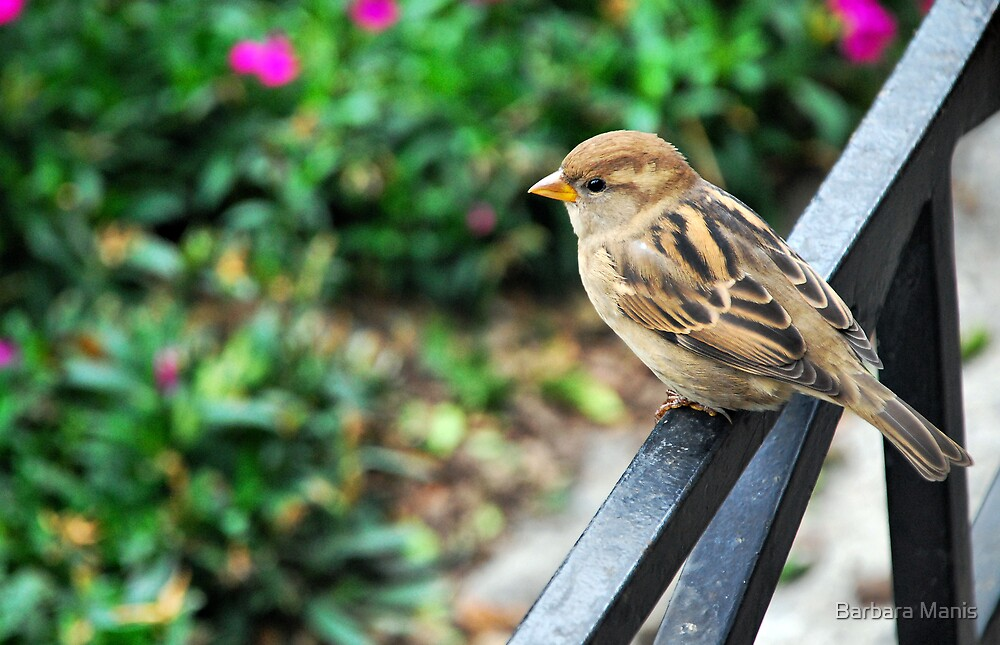 House Sparrow by Barbara Manis