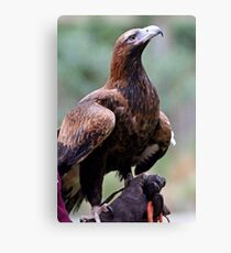 Australian Wedge Tailed Eagle Canvas Print