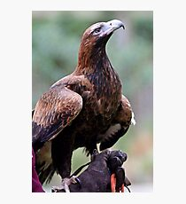 Australian Wedge Tailed Eagle Photographic Print