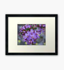 calytrix leschenaultia Framed Print