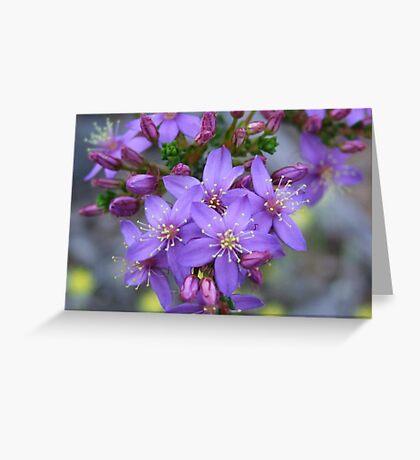 calytrix leschenaultia Greeting Card