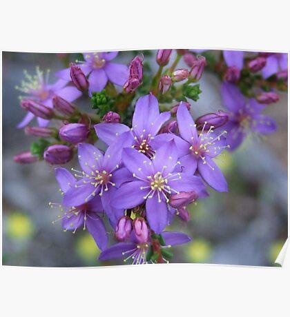 calytrix leschenaultia Poster