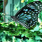 """Zebra Butterfly by """" RiSH """""""