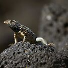 Galapagos Lava Lizard by citrineblue