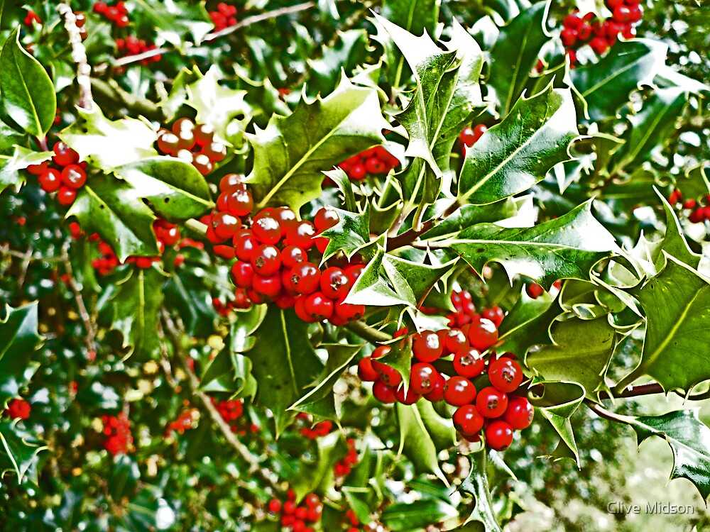 Holly and Berries by Clive Midson