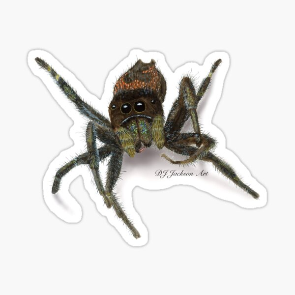 Red-Backed Jumping Spider Sticker