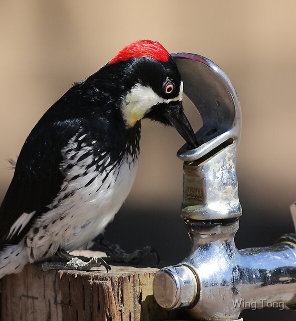 Thirsty Acorn Woodpecker No.5 by Wing Tong