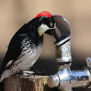 Thirsty Acorn Woodpecker No.5 by wingtong168