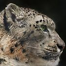 Snow Leopard by randmphotos