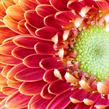 Golden Chysanthemum by adrianbrockwell