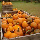 Pumpkins at the Orchard by debbiedoda