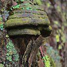 Shelf mushroom on a Maple tree by Linda Costello Hinchey