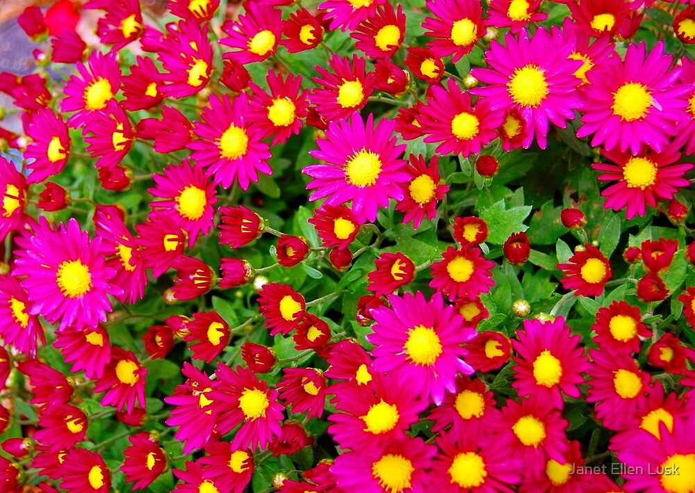 Red and Pink Daisy Field by Janet Ellen Lusk