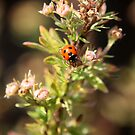 Ladybird by Chele Willow