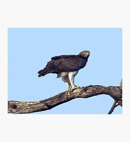 Martial Eagle Photographic Print