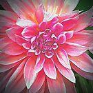 Petals of Pink Dahlia by Terri~Lynn Bealle