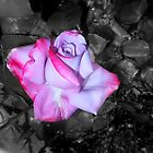 paradise rose, bwbg 09/20/18 by Shellaqua