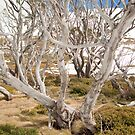 Perisher back country - gum trees and snow by pmacimagery