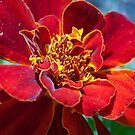 Marigold in Red by SusanAdey