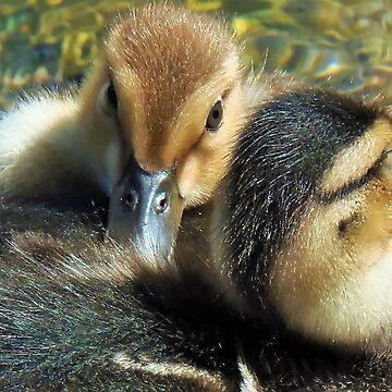 Ducks by franceslewis