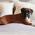 Not My bed... You Say? - Boxer Dogs Series by Evita