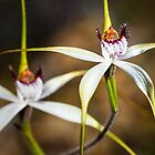 White Spider Orchid by Paul Amyes