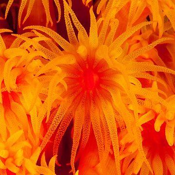 Sun coral, Wakatobi National Park, Indonesia by eschlogl