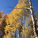 Aspens in Fall by Andrea Kennedy