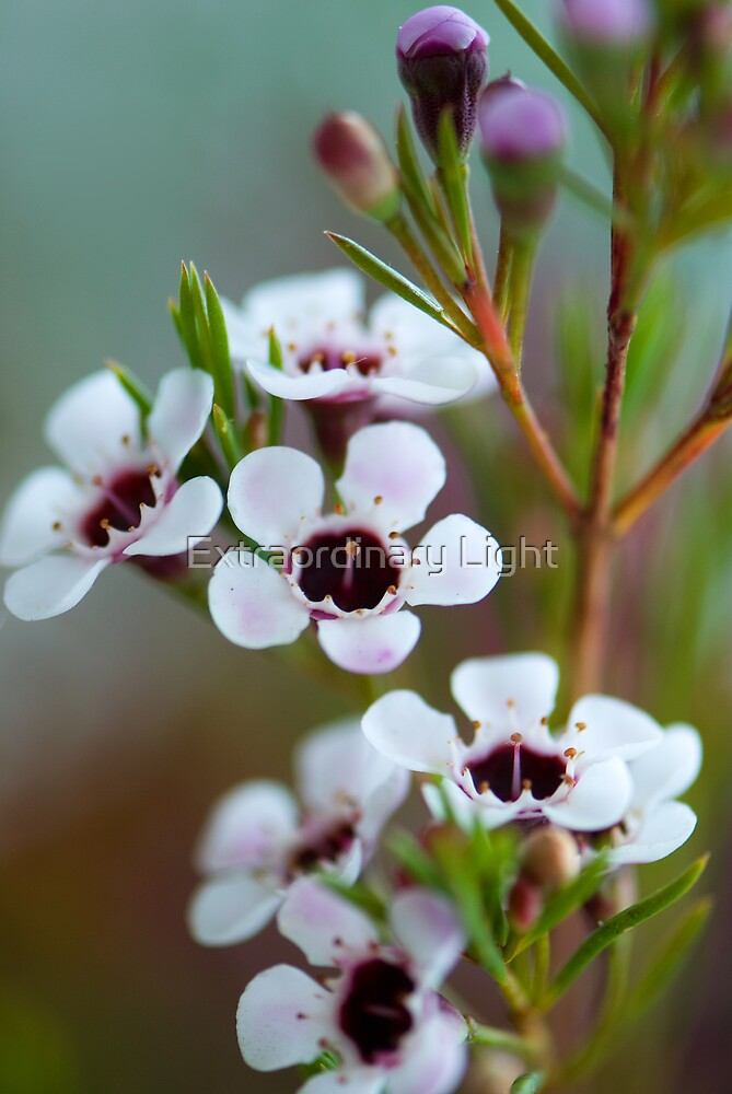 Geraldton Wax Flowers by Extraordinary Light