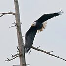 The Eagle Tree by David Friederich