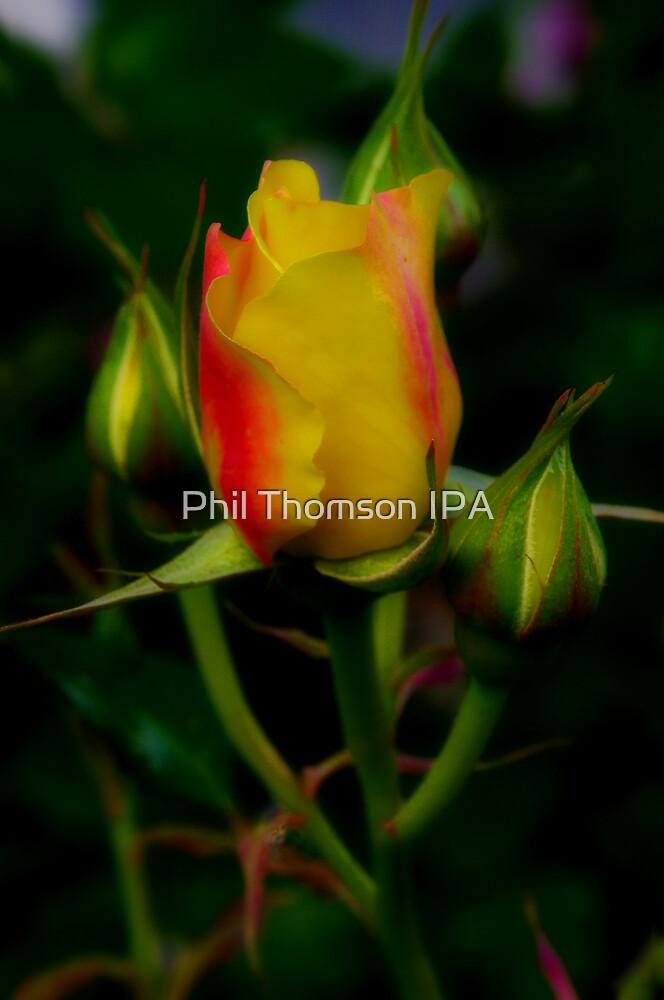 """Prima Donna"" by Phil Thomson IPA"
