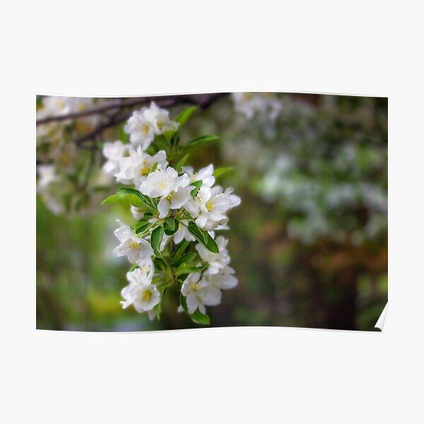 Spring Crabapple Blossoms Poster