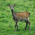 sika deer by scott hanham