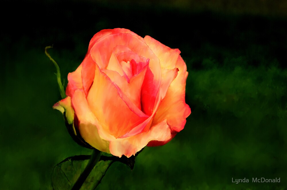 A Single  Rose by Lynda   McDonald